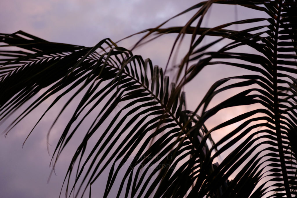 Mauritius, abstract, abstract photography, before the storm, coconut  leaves, creative, cyclone, melancholy, mood, nature, palm leaves, palm tree, pink sky, serene, soft light, storm, stormy, tropical, tropics, wall art, window, windy